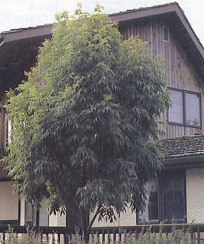 Manchurian Ash