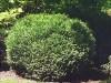 Little Giant Cedar
